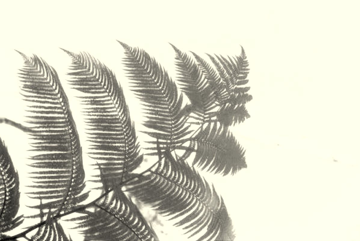 Farnwedel - Hawaii